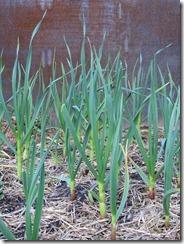 Trillium Garlic
